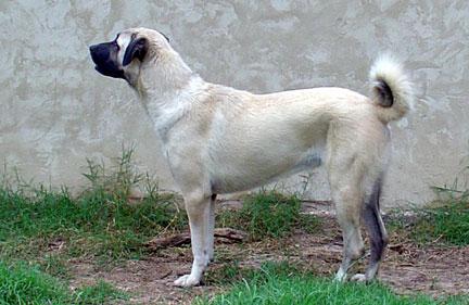 KangalPuppies